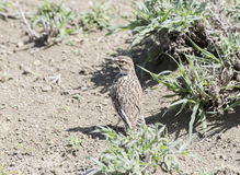 Short-tailed Lark Pseudalaemon fremantlii in Dry Shrubland Stock Image