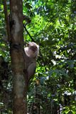 Short tailed macaque. On the tree Stock Photo