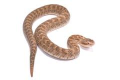 Short-tailed Mamushi, Gloydius brevicaudus. The Short-tailed Mamushi, Gloydius brevicaudus,is a highly venomous snake species found in Korea and China Royalty Free Stock Images