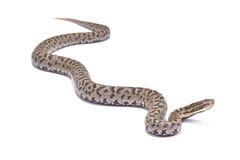 Short-tailed Mamushi, Gloydius brevicaudus. The Short-tailed Mamushi, Gloydius brevicaudus,is a highly venomous snake species found in Korea and China Royalty Free Stock Photo
