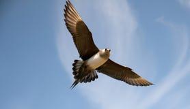 Short-tailed skua Stock Photo