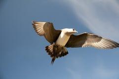 Short-tailed skua Royalty Free Stock Image