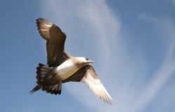 Short-tailed skua Royalty Free Stock Photo