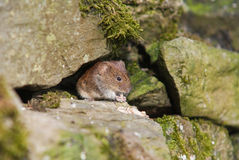 Short-Tailed Vole (Microtus agrestis) Royalty Free Stock Photo