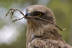 Short-toed eagle. The Short-toed Eagle is a medium-sized bird of prey in the family Accipitridae which also includes many other diurnal raptors such as kites Royalty Free Stock Photos