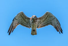 Short-toed eagle in the air looking at the camera Stock Photography