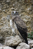 Short-toed eagle, Circaetus gallicus Stock Photo