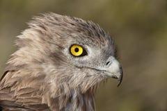 Short-toed eagle, Circaetus gallicus Royalty Free Stock Images