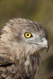 Short-toed eagle, Circaetus gallicus Royalty Free Stock Photos
