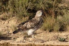 Short-toed eagle, Circaetus gallicus Royalty Free Stock Photography