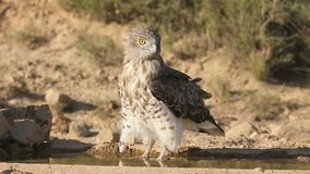 Short-toed eagle, Circaetus gallicus, stock video footage