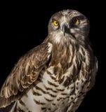 Short-toed eagle royalty free stock image
