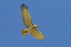 Short-toed Eagle Holding Snake Royalty Free Stock Photography