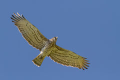 Short-toed Eagle Holding Snake Royalty Free Stock Images
