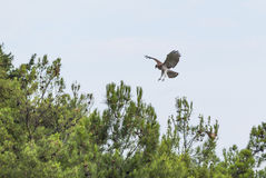 Short-toed eagle landing on some pine trees Royalty Free Stock Photos