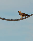 A Short-toed Eagle resting on a cable Royalty Free Stock Photography
