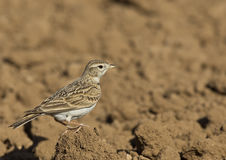 Short-toed Lark (Calandrella brachydactyla). Short-toed lark is on top of soil Stock Photo