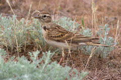 Short-toed lark that sits in the desert spring Royalty Free Stock Photos