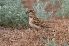 Short-toed lark sitting in the desert with an insect Stock Photo