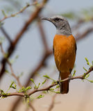 Short Toed Rock Thrush Stock Photography