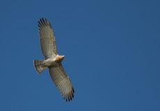 Short Toed Snake Eagle. In flight against blue sky Stock Photo