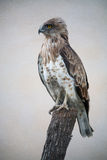 Short-toed snake eagle (circaetus gallicus) Royalty Free Stock Images