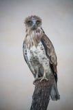 Short-toed snake eagle (circaetus gallicus) Royalty Free Stock Photography