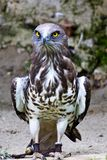 Short-toed snake eagle, circaetus gallicus also known as short-toed eagle royalty free stock images