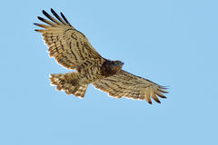 The Short-toed Snake Eagle (Circaetus gallicus) Stock Images