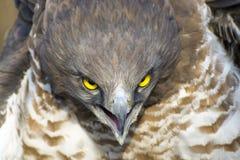 Short-toed snake eagle (Circaetus gallicus) Stock Images