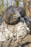 Short-toed snake eagle (Circaetus gallicus) Stock Photography
