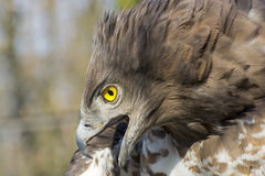 Short-toed snake eagle (Circaetus gallicus) Royalty Free Stock Images