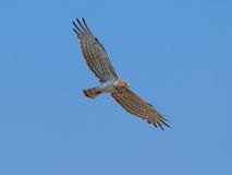 Short-toed snake eagle in flight Stock Image