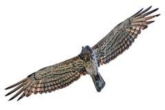 Short-toed snake eagle flying isolated. A short-toed snake eagle (Circaetus gallicus) flying isolated on white background Royalty Free Stock Images