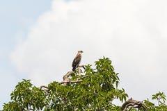 Short-toed snake eagle Stock Images