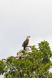 Short toed snake eagle in the wild Stock Images
