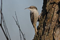 Short-toed Tree Creeper. In an other position as mostly seen Stock Photo