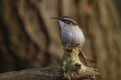 Short toed tree creeper. Look at me it seems to say Royalty Free Stock Photo