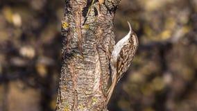 Short-toed treecreeper Stock Photography