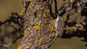 Short-toed treecreeper Royalty Free Stock Photography