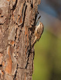 A short-toed Treecreeper on a pine tree Stock Image