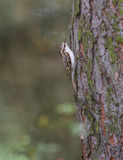 Short-toed Treecreeper on pine tree Stock Photos