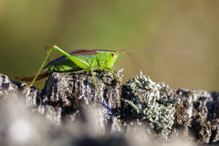 Short winged conehead Stock Photography