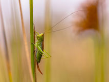 Short winged Conehead Stock Images