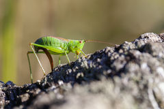 Short winged conehead - oviposition Royalty Free Stock Photo