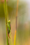 Short winged Conehead vertical Royalty Free Stock Photography