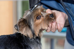 Shortening the hair of the dog by a razor. Shortening the hair of the  yorkshire terrier on the head using a razor. The dog is looking at the camera cute Stock Image