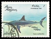 Shortfin鲨鱼 免版税图库摄影