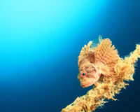 Shortfin Dwarf Lionfish Royalty Free Stock Photography