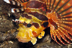 Shortfin lionfish Royalty Free Stock Photos